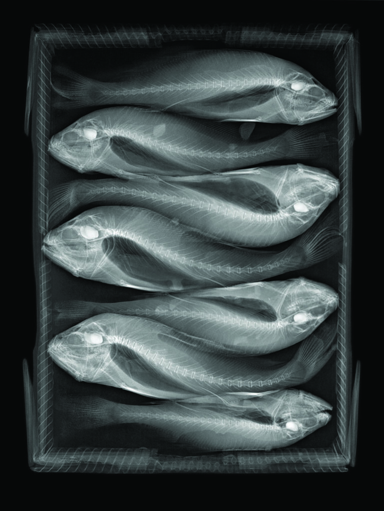 X-ray image of fishes in a box